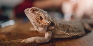 Your Bearded Dragon Pet Primer