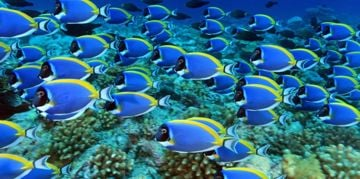 Finding Your Own Blue Tang Fish