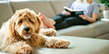 Labradoodle vs Goldendoodle: How the Two Breeds Differ
