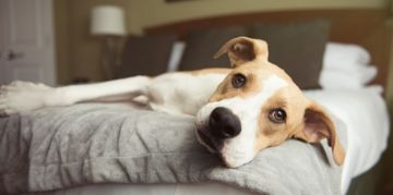 What to Do About a Lethargic Dog