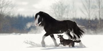 The Athletic and Attractive Clydesdale