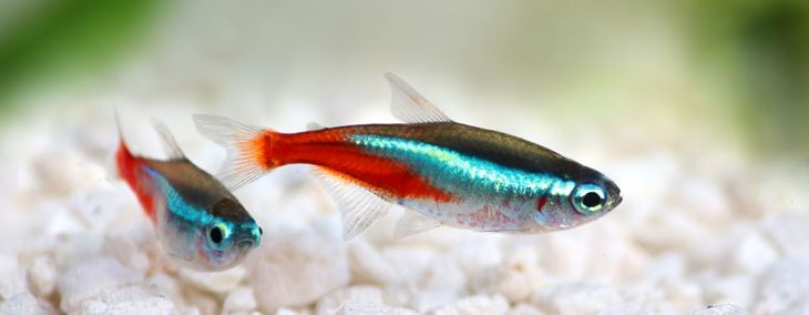 The Neon Tetra: A Simple, Friendly Fish