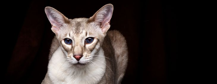 Caring for the Affectionate Peterbald Cat
