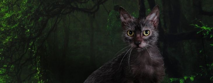 The Lykoi: Not a Werewolf but a Loveable Feline