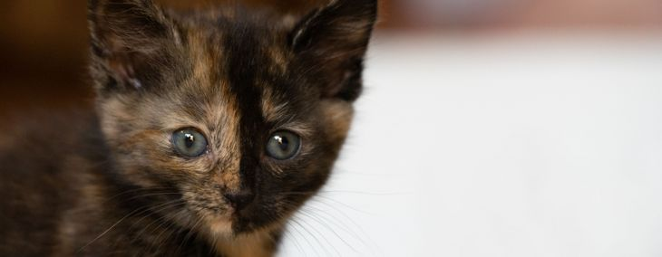The Mysterious Chimera Cat