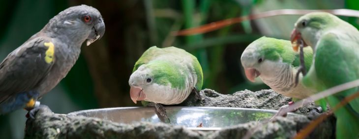 Consider a Quaker Parrot for a Smart, Playful Pet