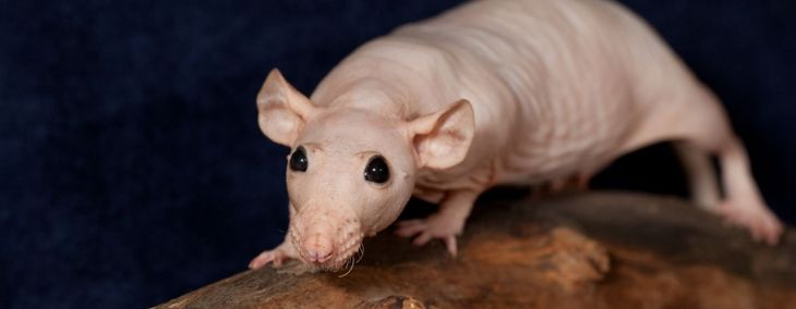 How to Care for Your Pet Hairless Rat