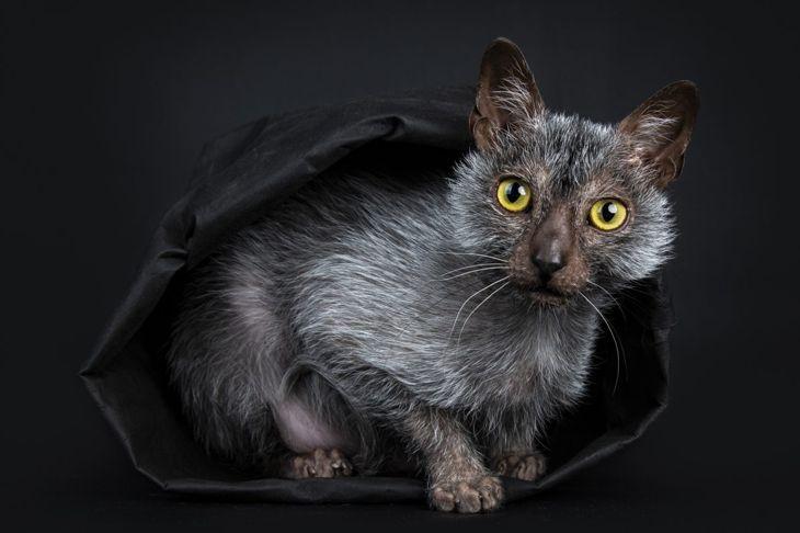 werewolf cat feline lykoi