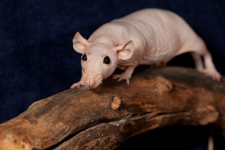 Hairless rat on log