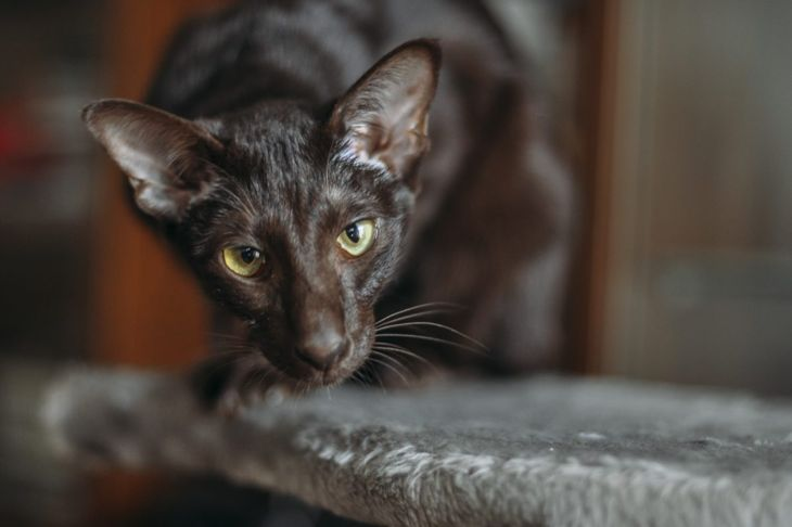 The Peterbald gets its distinctive head shape from the Oriental shorthair.
