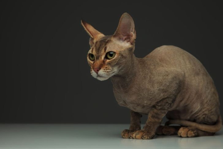 Peterbald with velour coat.