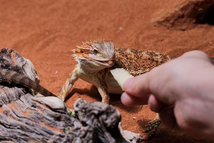 Bearded dragon eating fruit
