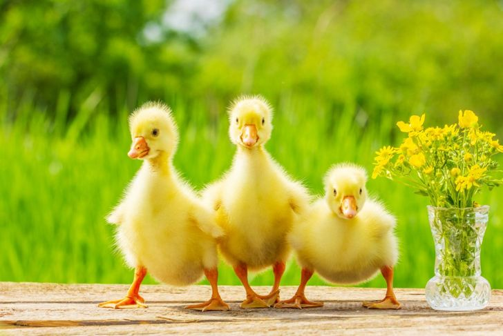 Adults enjoy the water, but baby ducks should be kept warm and dry.