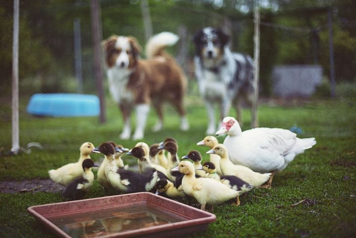 A little shelter is enough to keep your pet duck safe and sound.