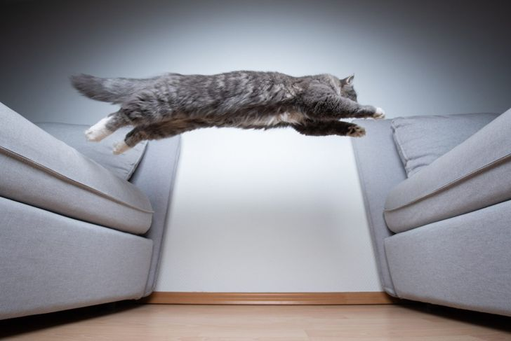 Leaping tabby
