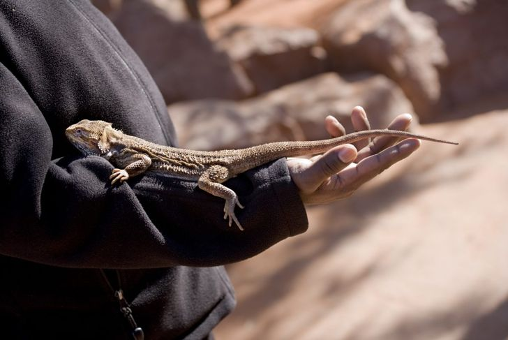 Bearded dragon out of habitat