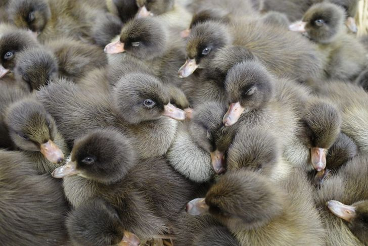 Begin your chick's diet with duck starter, progress to duck grower, and finish with pullet grower and GRIT.