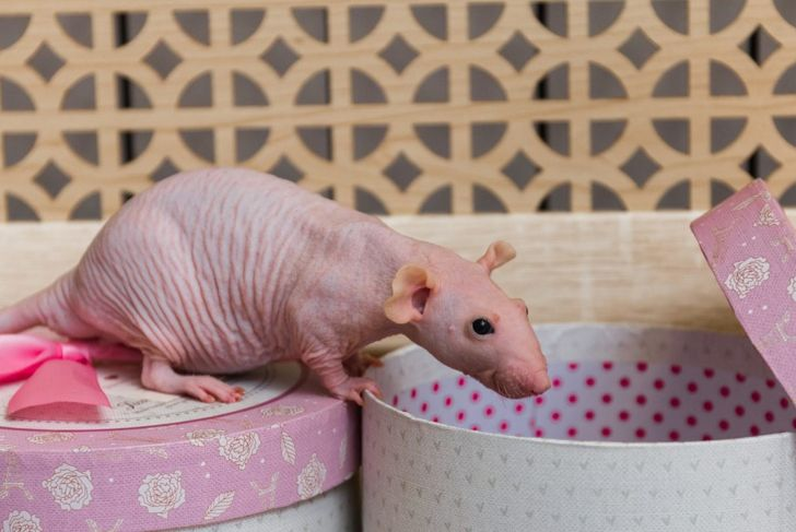 Hairless rat climbing on hat boxes