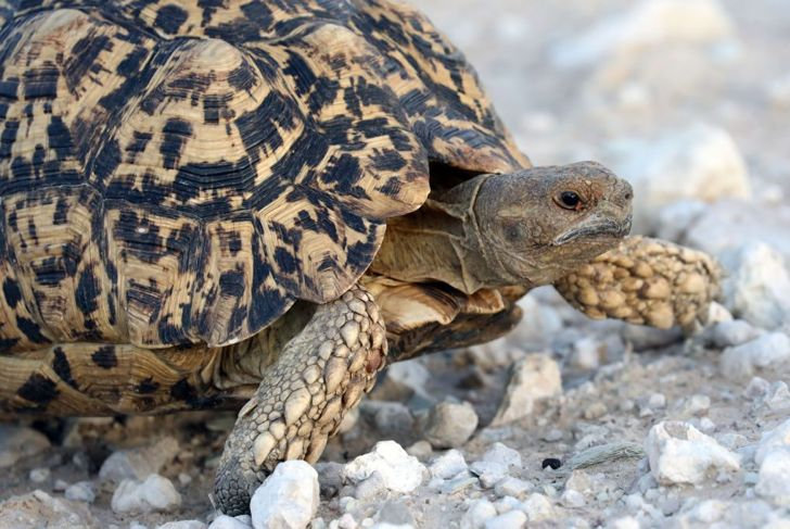 The most common health problems that tortoises have are bone weakness and respiratory infections.