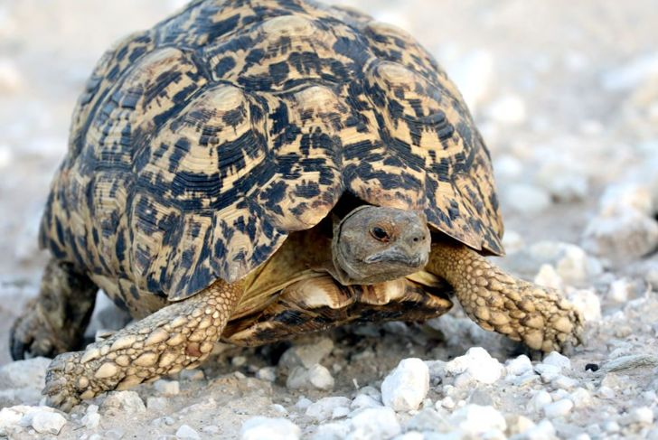 As a cold–blooded reptile, tortoises need plenty of light and heat.