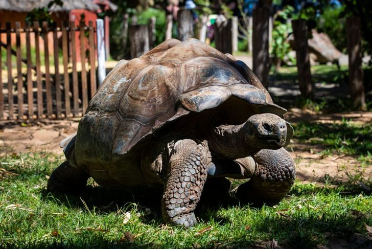 Unique from turtles and terrapins, tortoises have curvier shells and stronger legs to carry their weight.