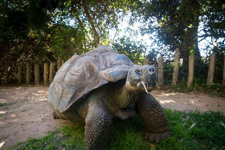 With a particular taste for berries and greens, tortoises enjoy a vegetarian diet.