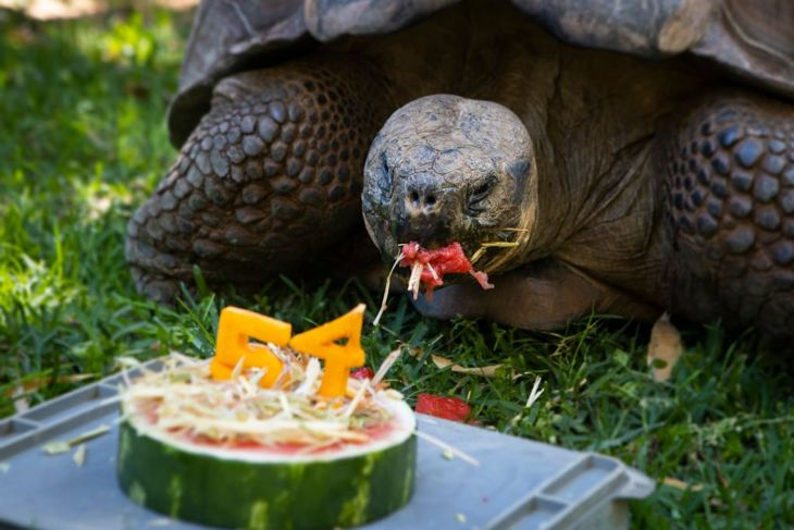 With an average lifespan of over 50 years, your tortoise is likely to go the distance.