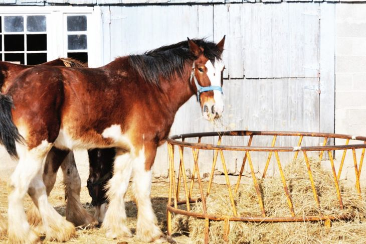 Clydesdale eating hay