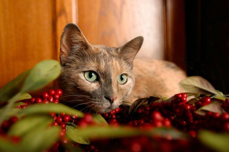 Chimera cat with mistletoe