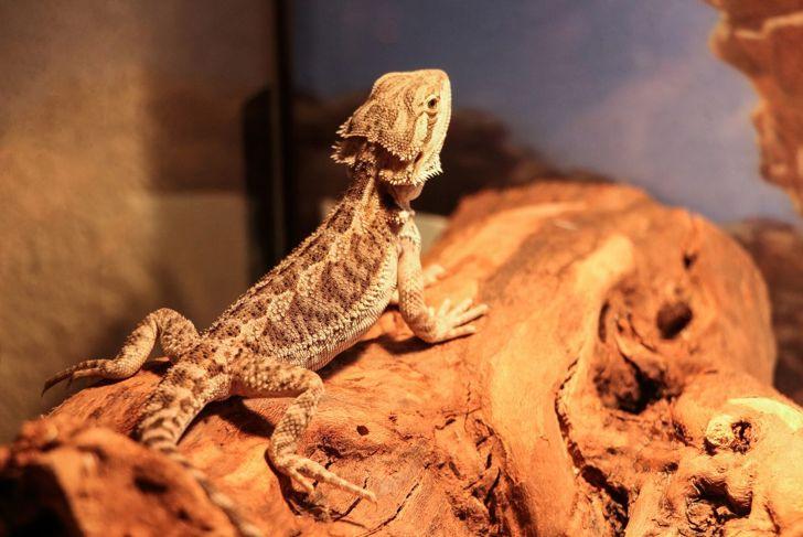 Bearded dragon on basking spot