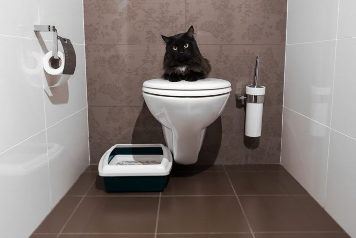 Cat on a toilet next to a litter box.