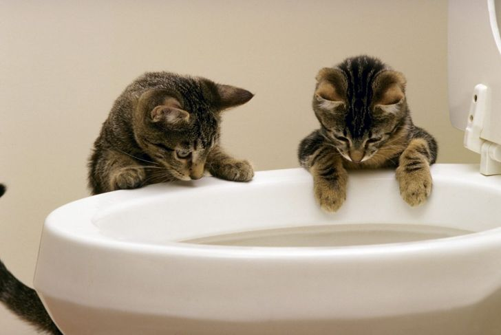 Cats looking into toilet.
