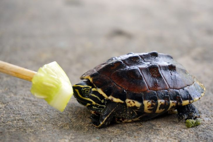Pet turtle eating vegetables.