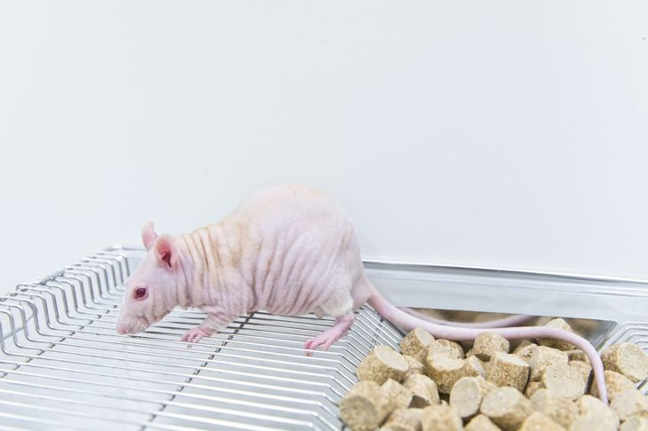 Hairless rat on top of cage