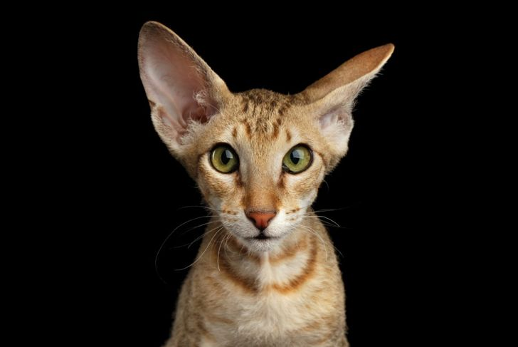 A Peterbald kitten will bond quickly with its family.