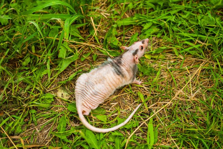 Hairless rat outside