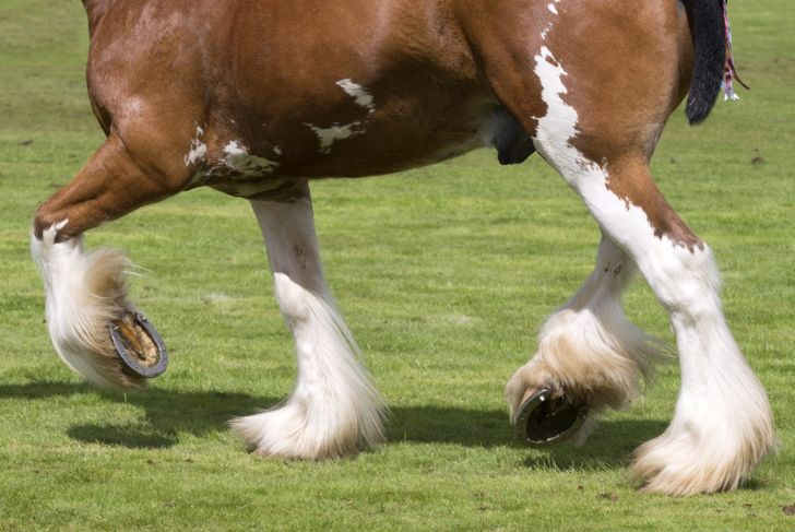 Clydesdale legs