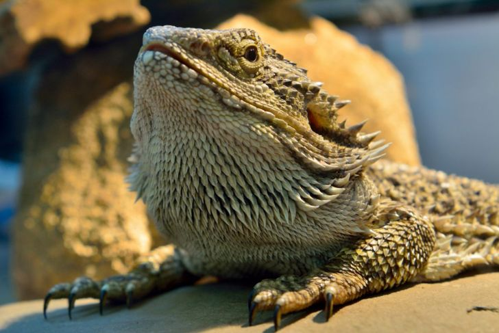 Bearded dragon showing claws