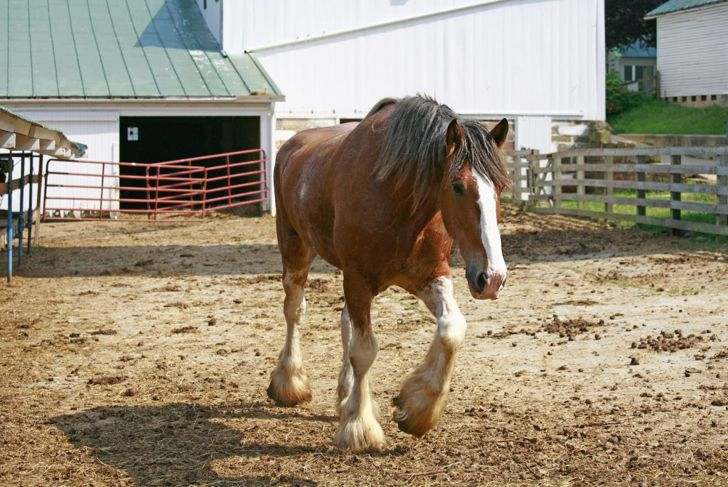 Clydesdale in muddy paddock