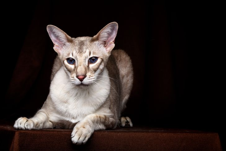 peterbald cat coat and skincare