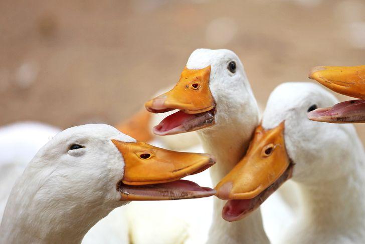 quacking duck pets