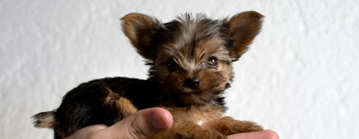 Caring For Your Teacup Yorkie