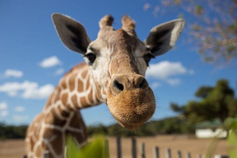 Say hello to a friendly giraffe over a webcam.
