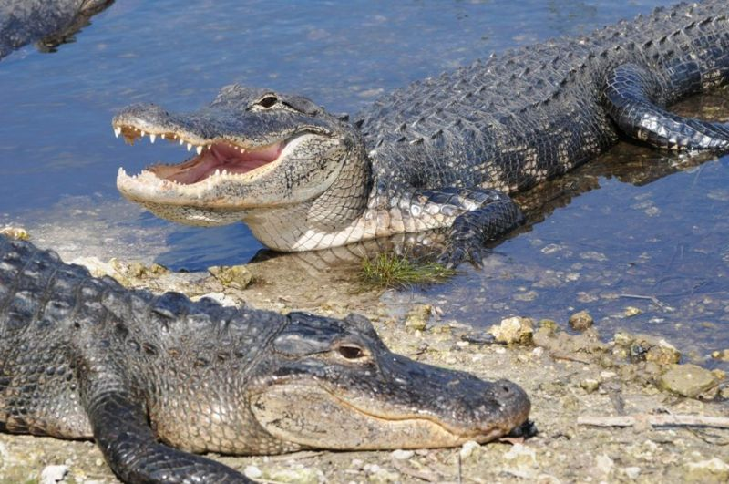 naming differences between alligators and crocodiles