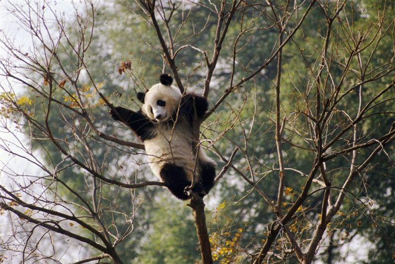 panda famous endangered species