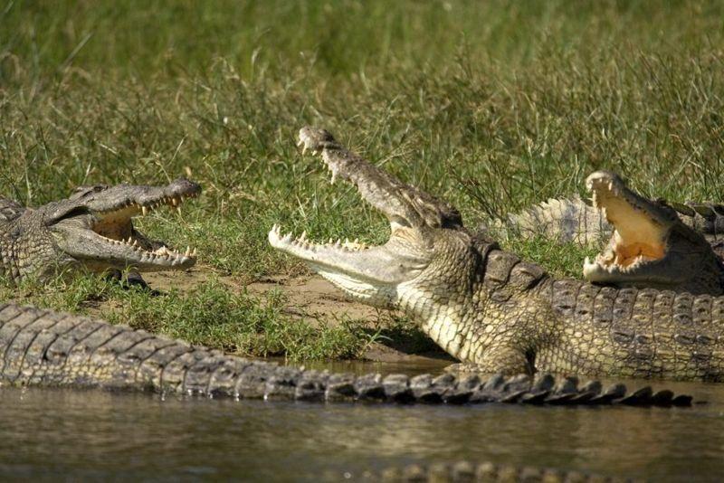 crocodile vs alligator
