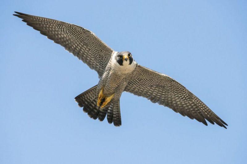 falcon Fastest Animals
