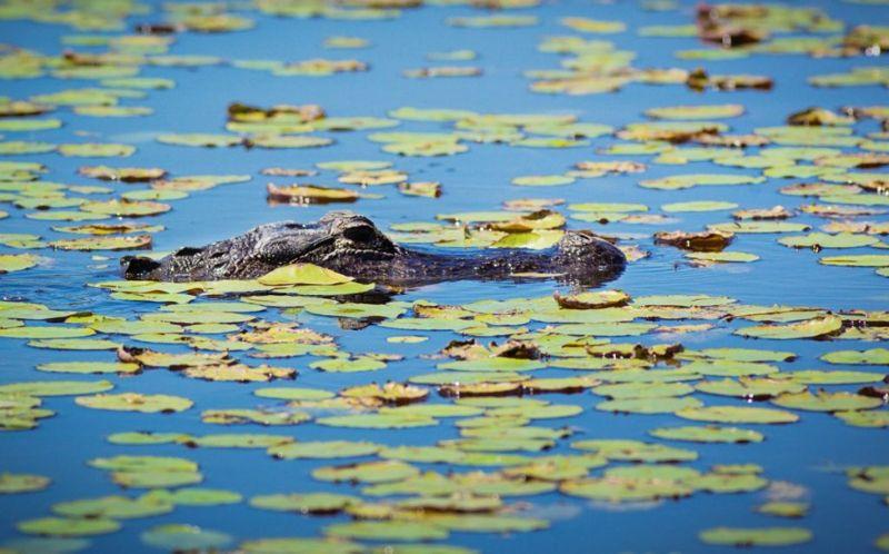 alligator locations