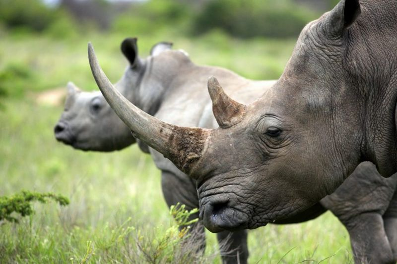 rhino famous endangered species