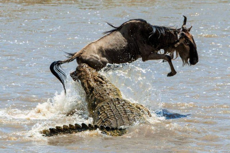 crocodiles eat